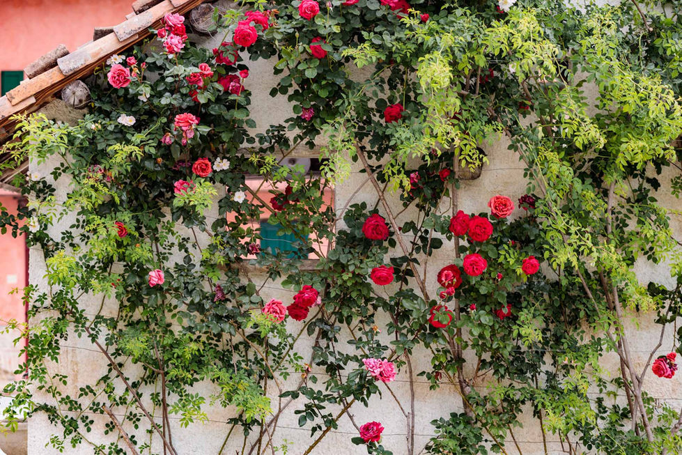 Red roses on our outdoor kitchen