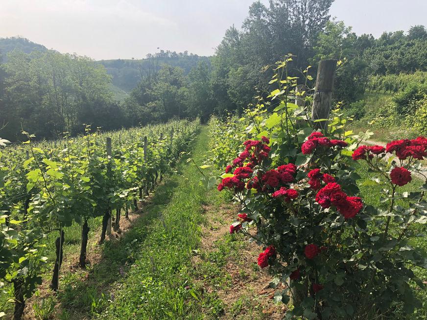 Roses in vineyards