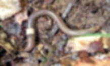Amynthasagrestis (1).jpg