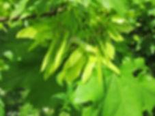 acer-platanoides-846538_1280.jpg
