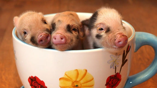 teacup-pigs-myth-1.jpg