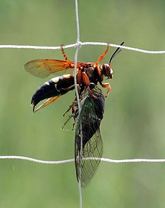 Eastern_cicada_killer_wasp_Sphecius_spec