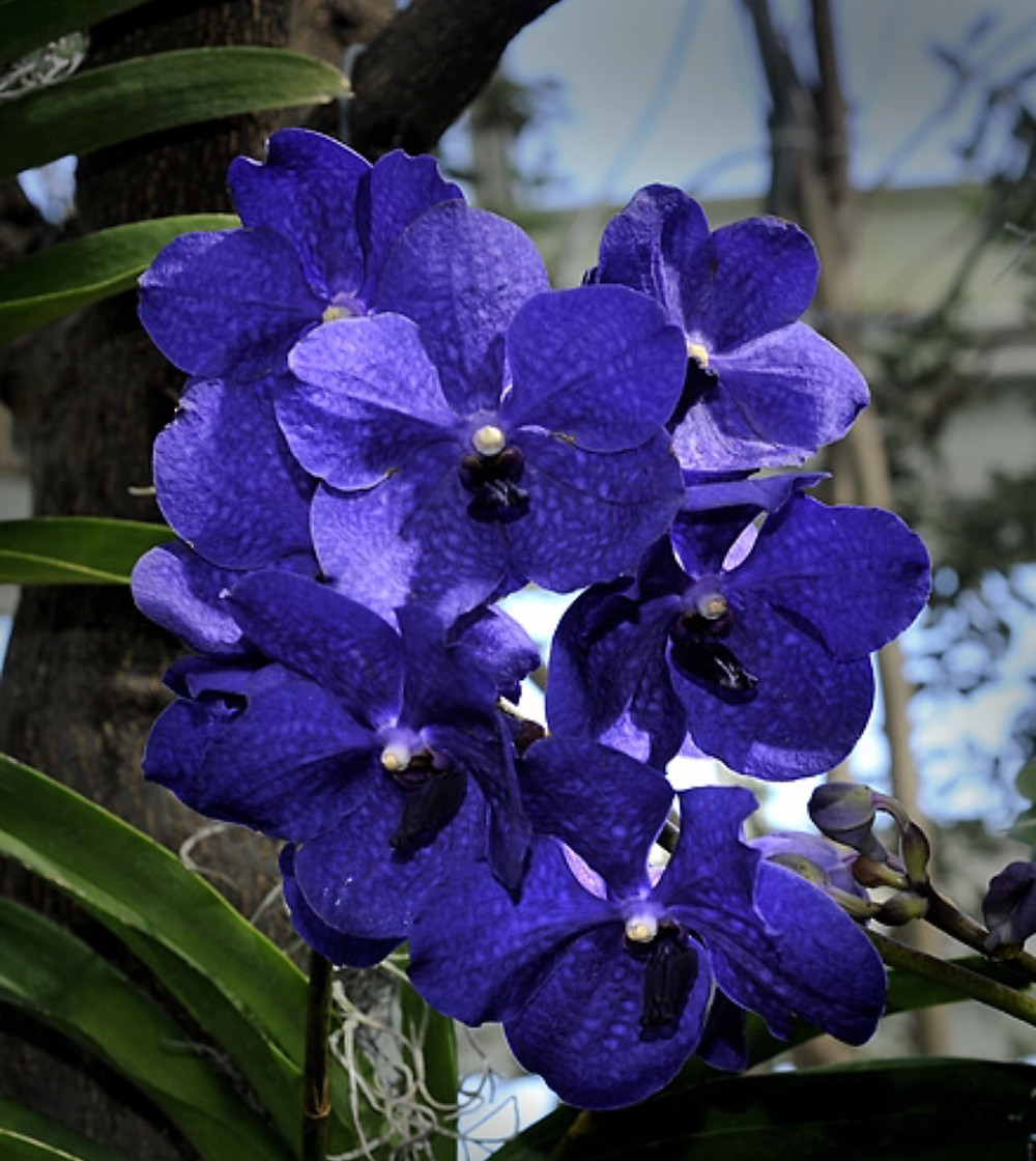Vanda Blue Orchid