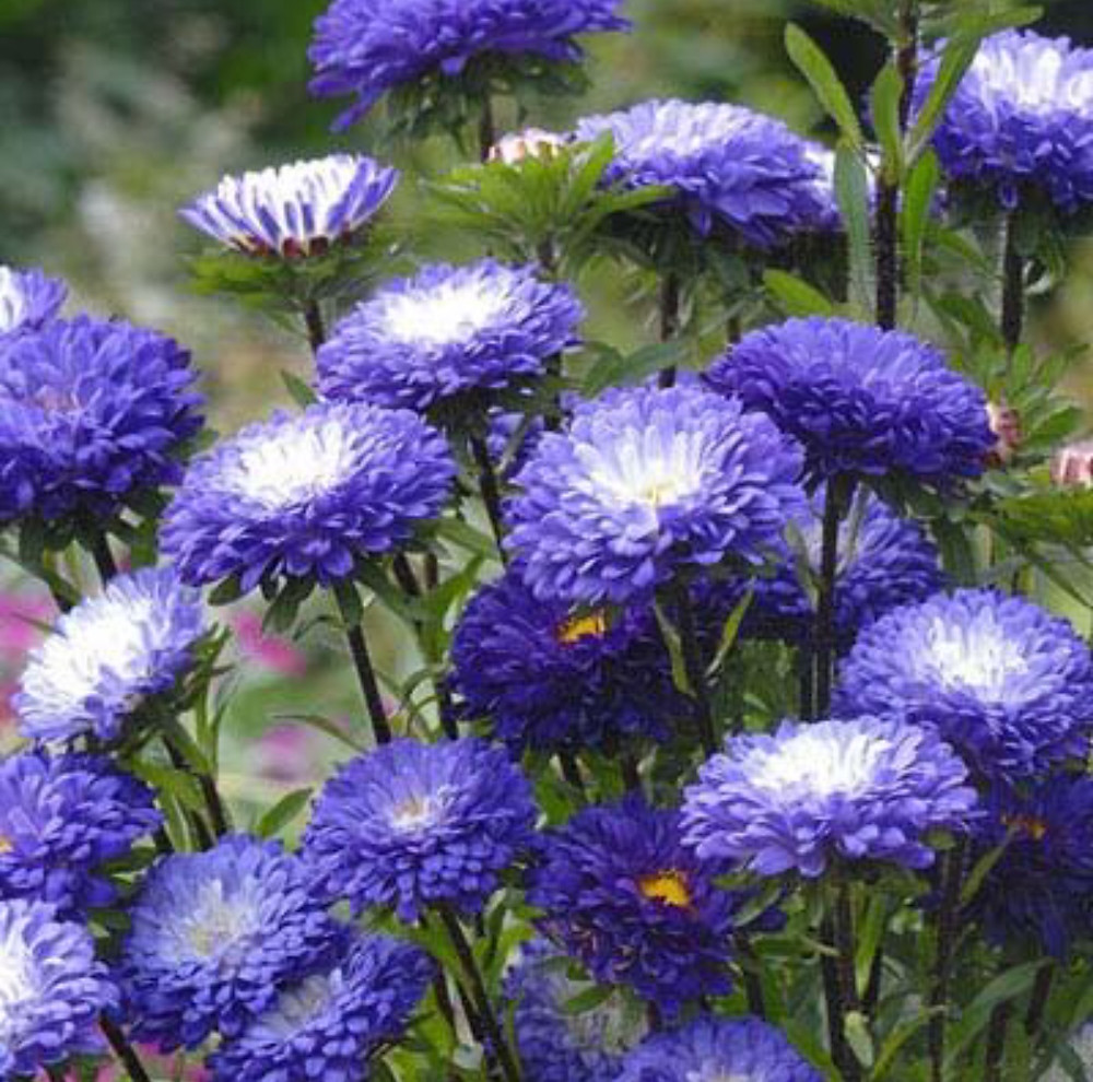 Blue Tipped Aster