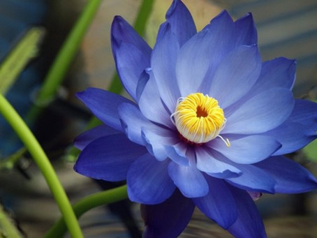 True Blue - Do real blue flowers actually exist?
