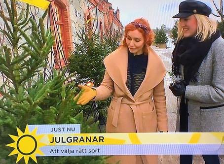 Julgranar i TV4 Nyhetsmorgon