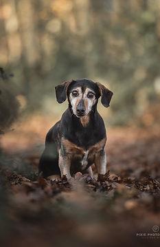 Oude hond in het bos tussen de herfstbladeren