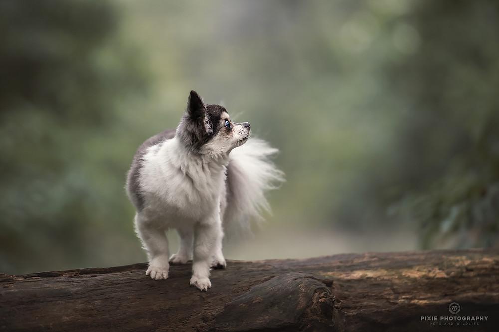 Chihuahua op een boomstam in het ochtendlicht in het bos