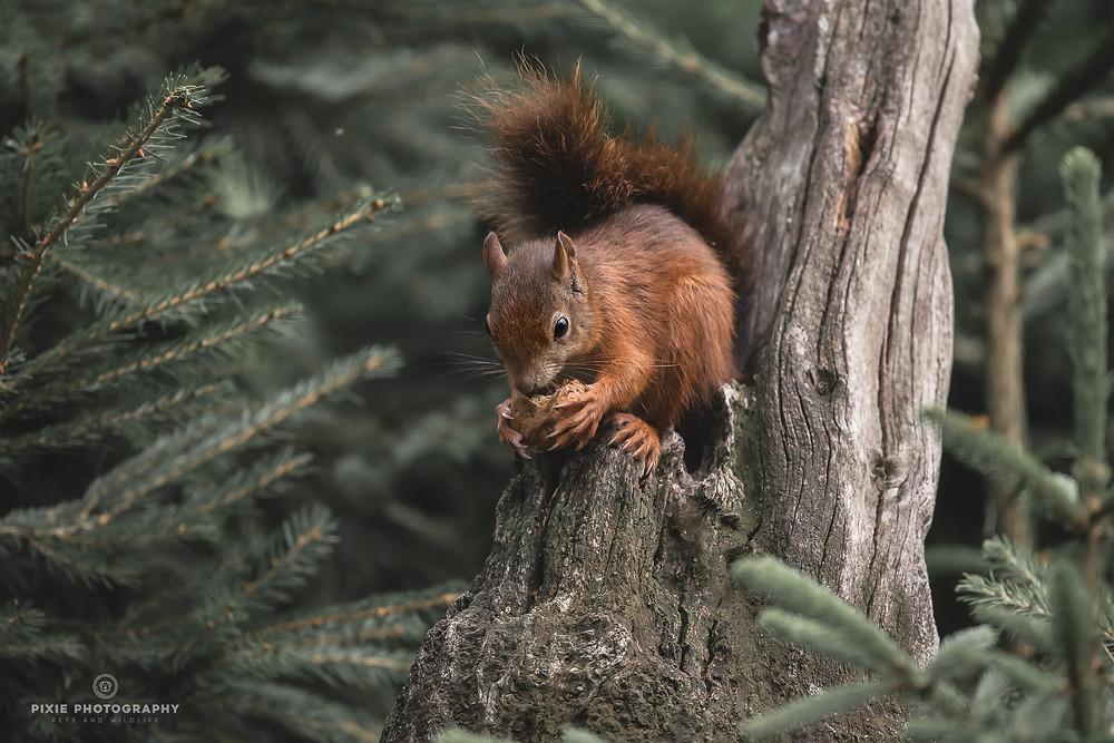 Eekhoorn op een boomstam met een walnoot