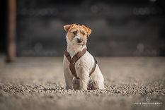 Ruwharige jackrussell met Anny-X hondentuig