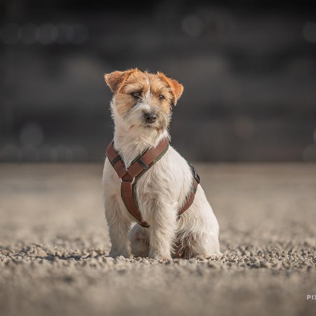Ruwharige Jack Russell met Anny-X hondentuig