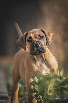 Boerboel puppy tussen de groene planten