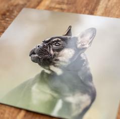 Aluminium print voor thuis aan de muur met de afbeelding van een Franse Bulldog