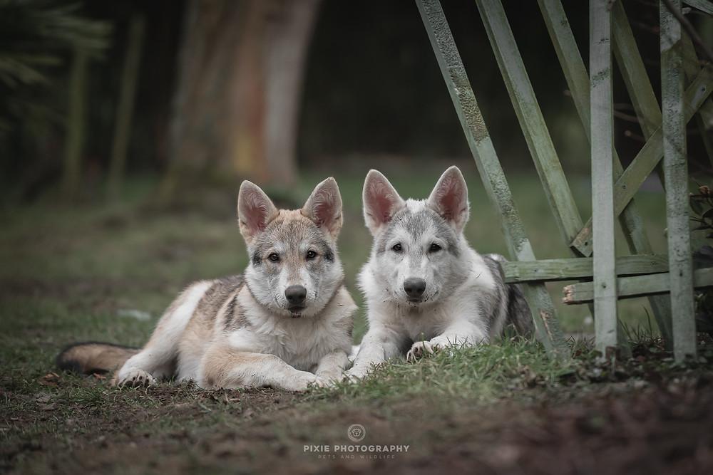 Tamaskan puppy's liggend in het gras tijdens de fotoshoot