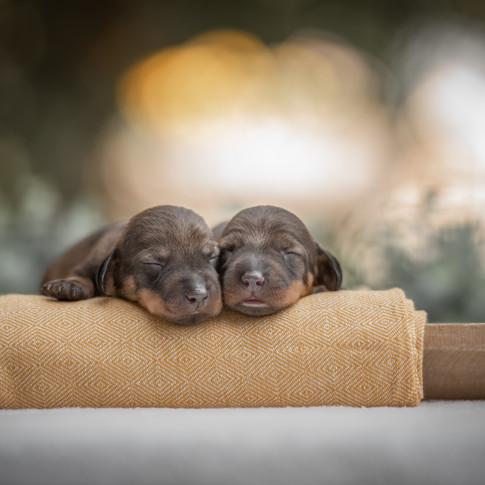 Pasgeboren teckelpuppy's