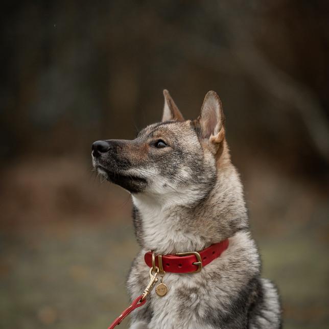 Hondenportret met lederen halsband
