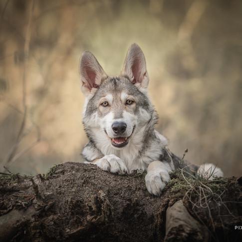 Tamaskan puppy Hakon