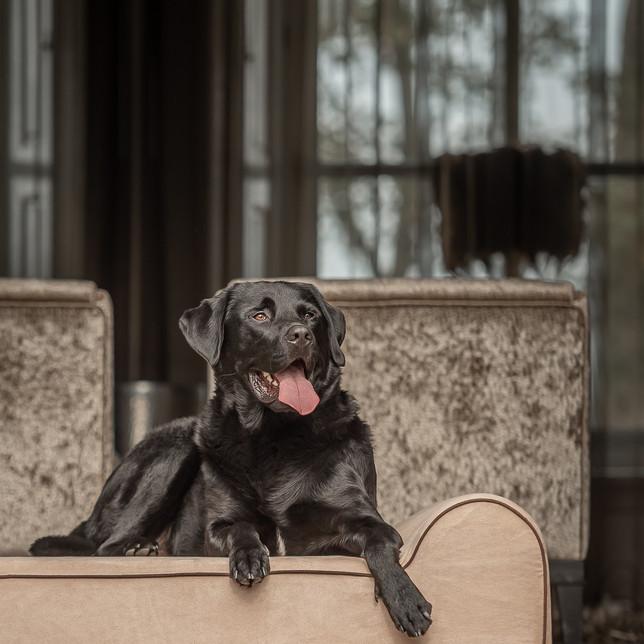 Labrador op een hondenbed