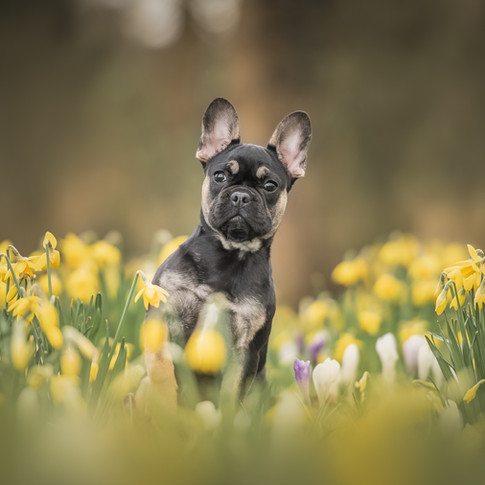 Bulldog puppy Skye tussen de narcissen
