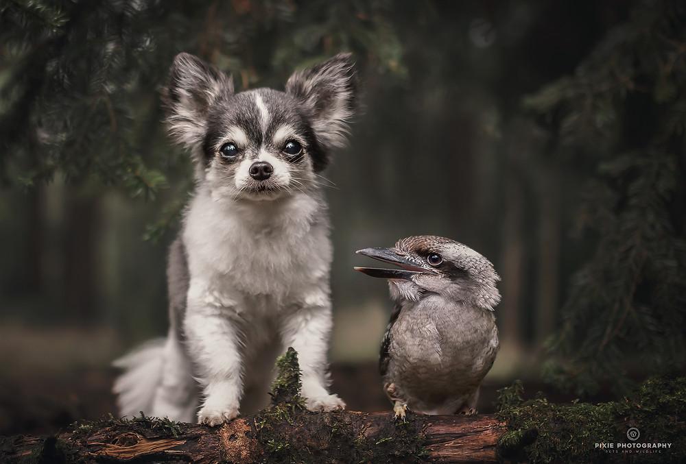 Chihuahua en kookaburra op een boomstam in het bos