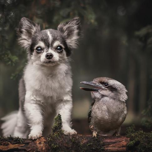 Chihuahua Duco samen met Kookaburra Guus