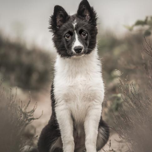 Border Collie puppy Dott