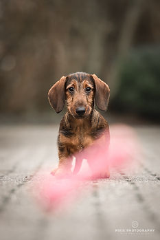 Ruwharige teckel puppy