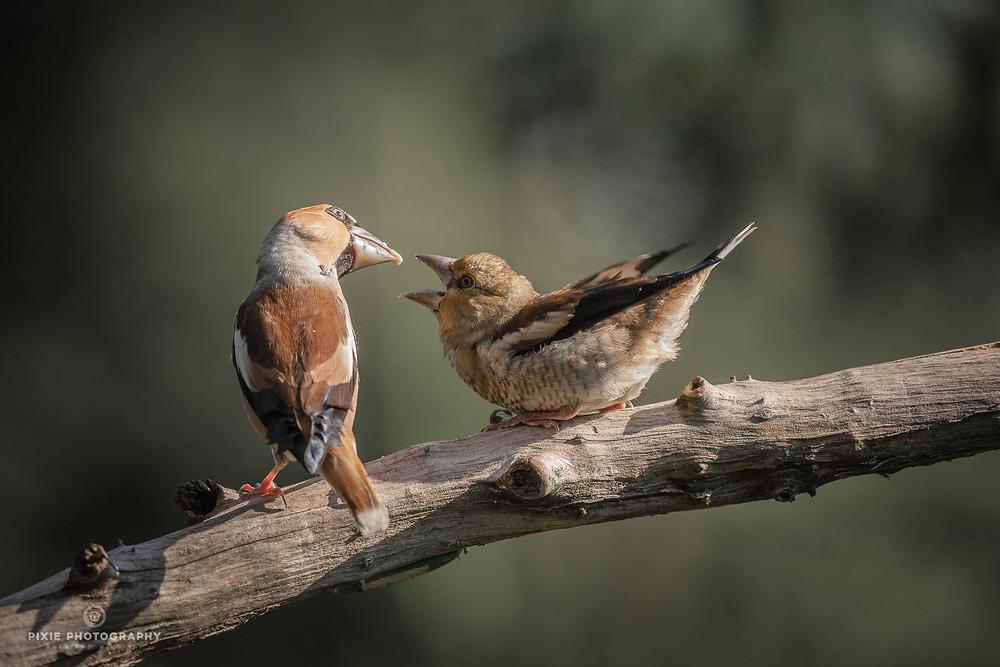 Appelvink voert zijn jong op een tak