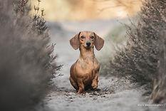 Hondenportret teckel