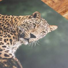 Aluminium print voor thuis aan de muur met de afbeelding van een luipaard