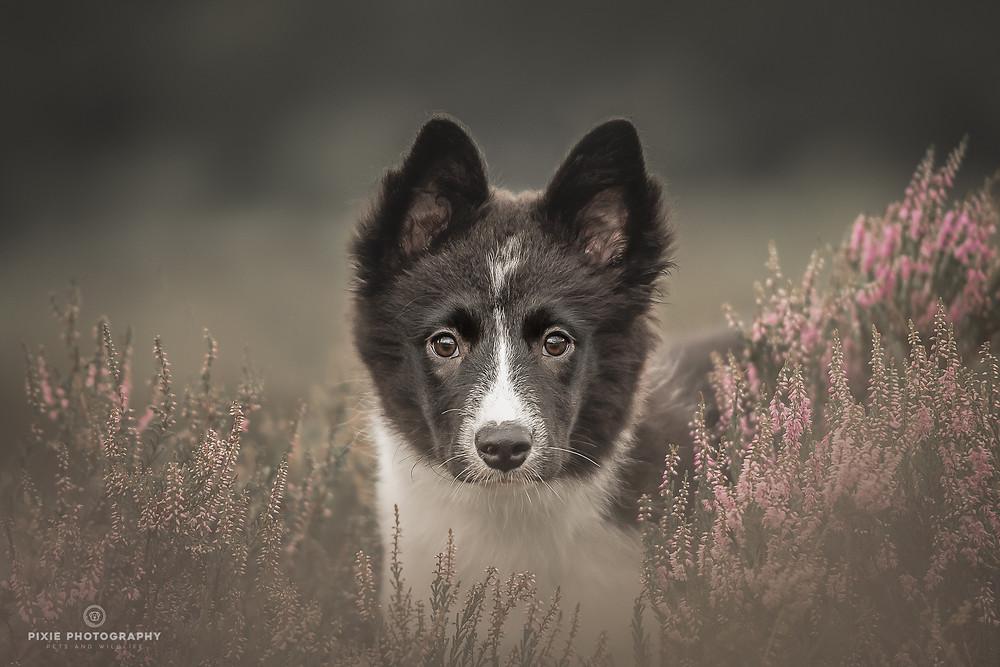 Border Collie puppy tussen de paarse heide
