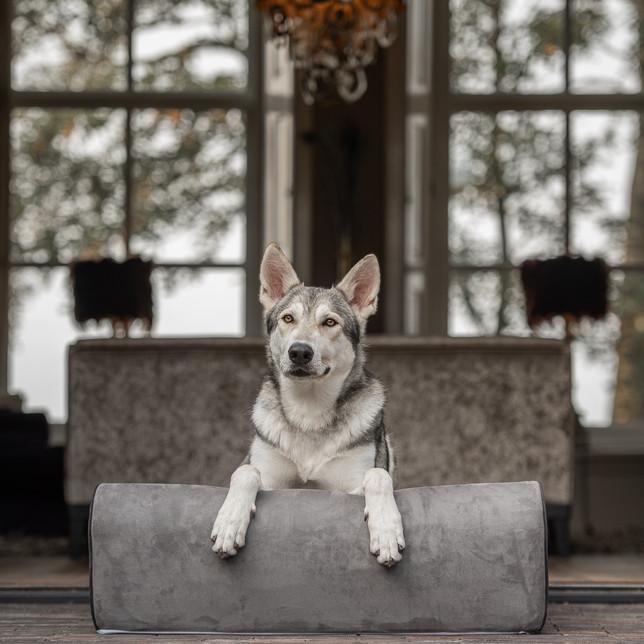 Tamaskan op een hondenbed