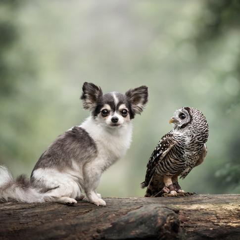Chihuahua Duco & Roodpootbosuil Mowgli
