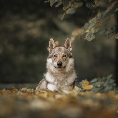 Saarloos Wolfhond tijdens een fotoshoot