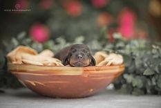 Pasgeboren teckelpuppy