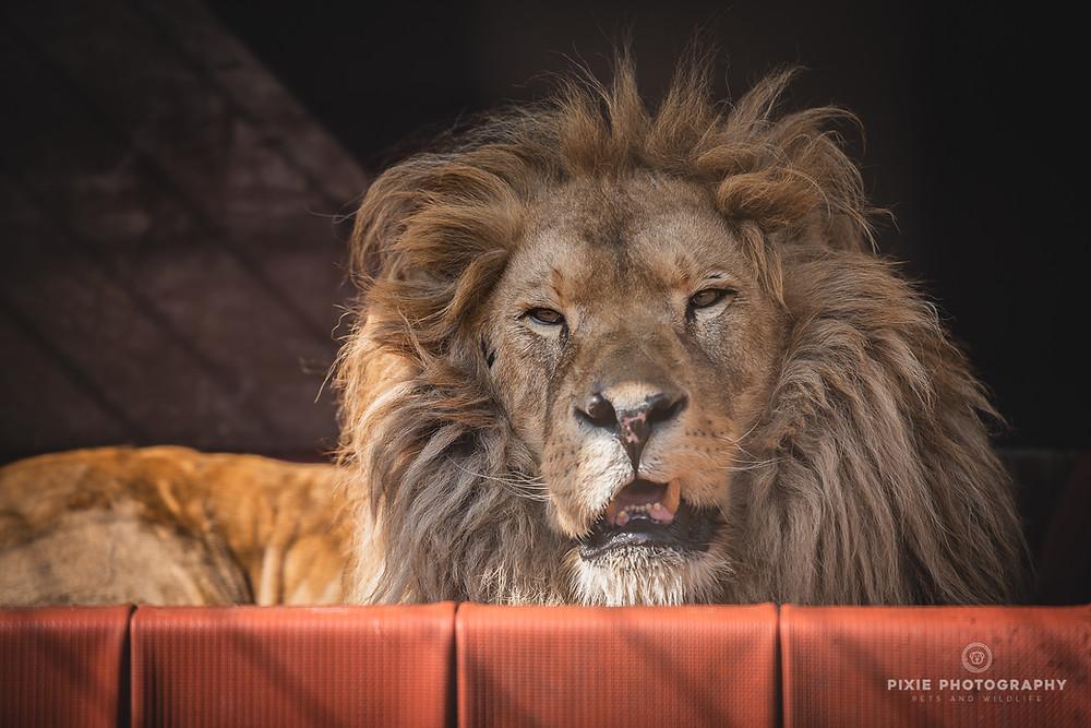 Leeuw Bobby in de grote katten-opvang Felida in Nijeberkoop