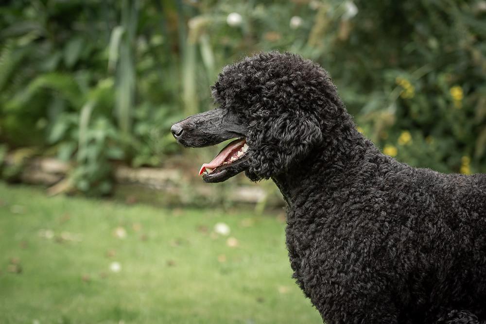 Zwarte koningspoedel en haar pups
