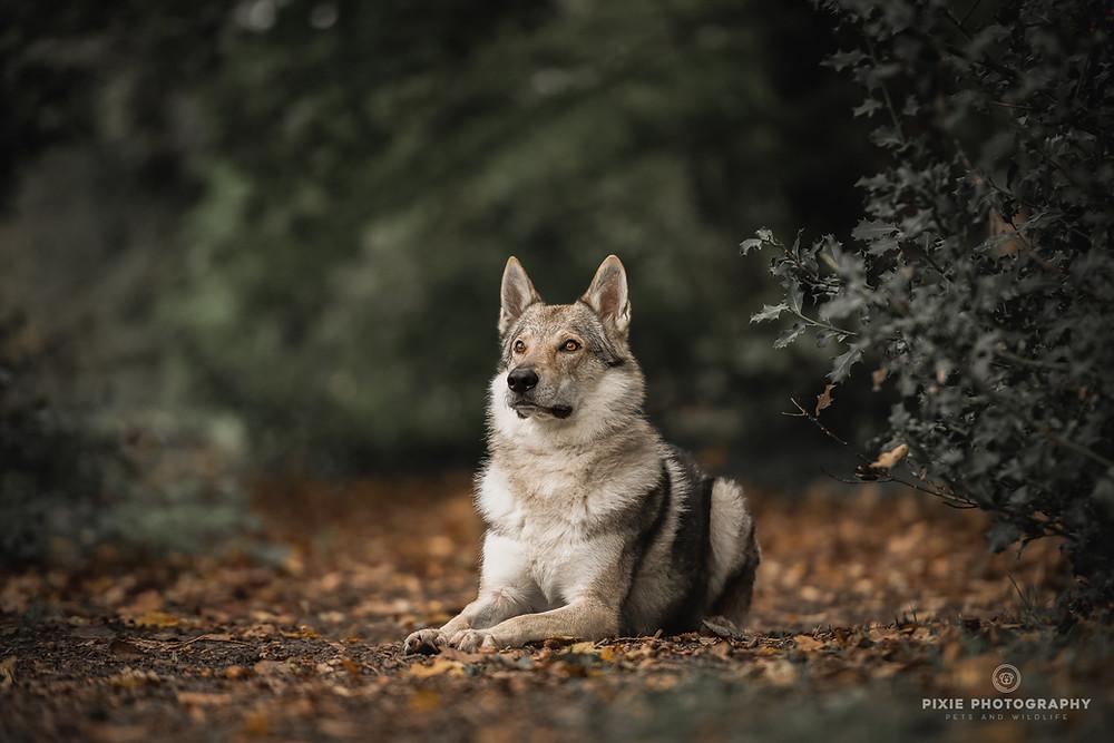 Tamaskan in het bos