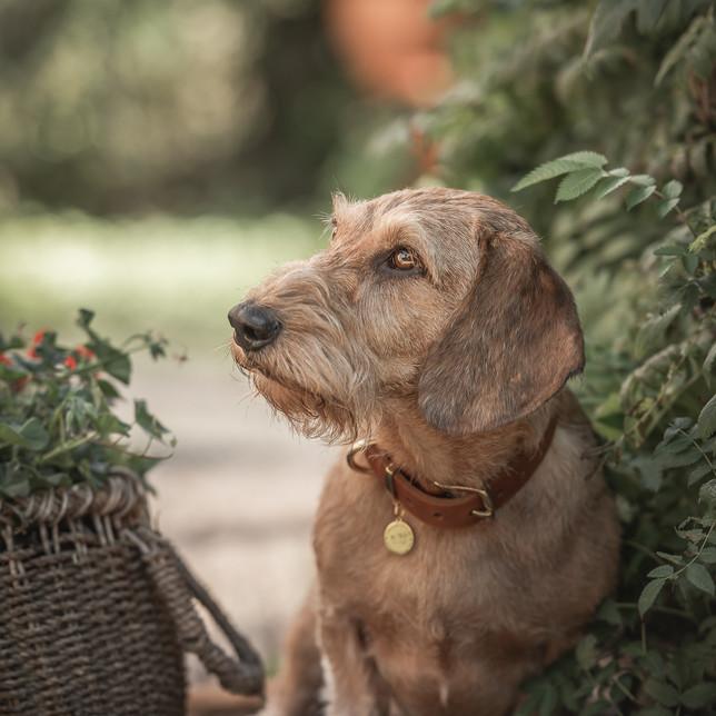 Teckel met hondenhalsband