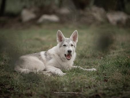 De opgroeiende pup door de ogen van de hondentrainer