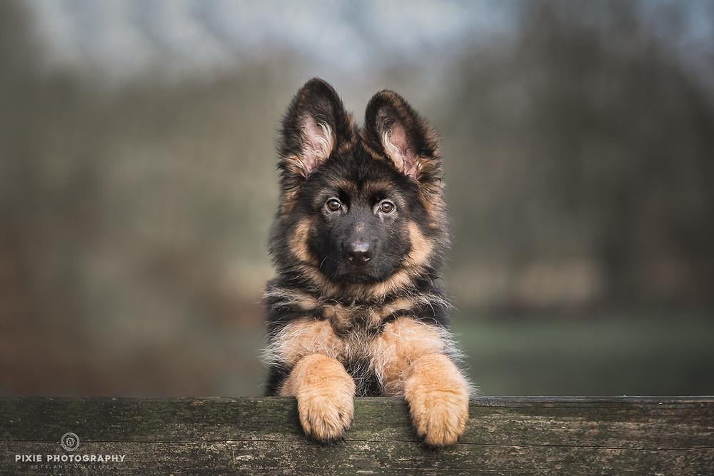 Oud Duitse Herder puppy staand met pootjes op een hek