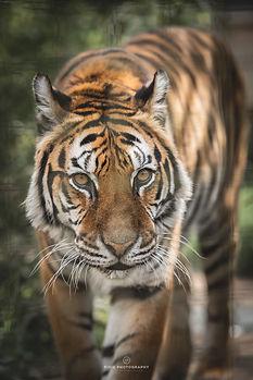 Tijger Delhi in Felida Big Cat Sanctuary