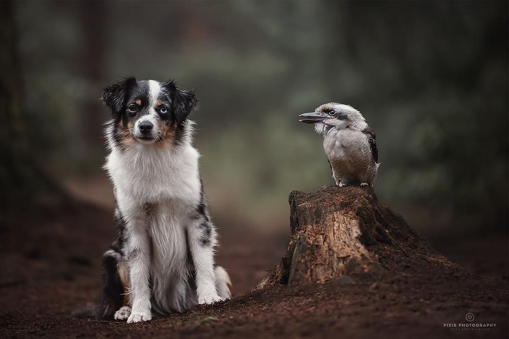 Hond en kookaburra in het bos in het ochtendlicht