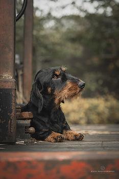 Hondenfoto teckel