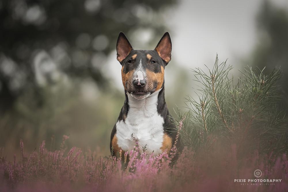 Bullterrier Rico tussen de paarse heide