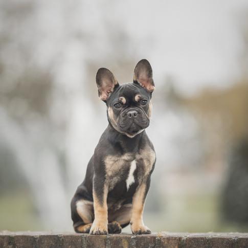 Franse Bulldog puppy