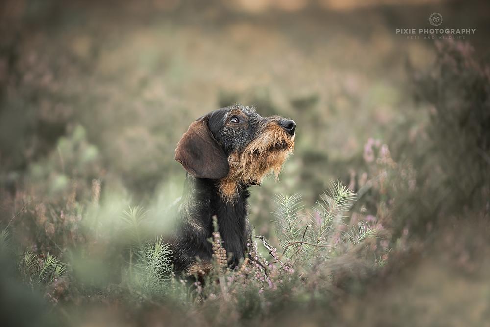 Teckel hondenportret op de heide