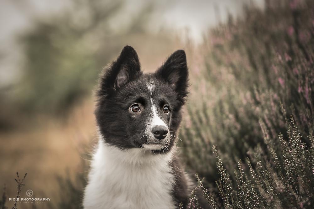 Portret van Border Collie puppy op de paarse heide