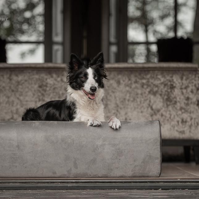 Border Collie op een hondenbed