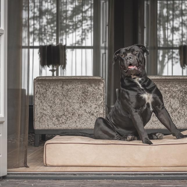 Boerboel op een hondenbed